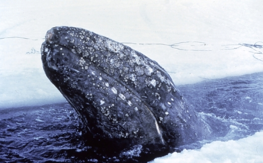 Gray whale (Eschrichtius robustus) trapped in the ice – a joint American-Russian effort ultimately saved 2 out of 3 trapped whales, Bering Sea, Alaska / NOAA: NOAA's Ark – Animal Collection (ID theb3673)