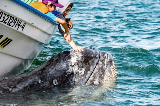 Children's hands caressing and touching a mother gray whale (Eschrichtius robustus) and calf resting for milking, 5 Feb 2015, Adolfo López Mateos, Bahía Magdalena, Baja California Sur, Mexico / © Andrea Izzotti @ 123rf (ID 55335618)