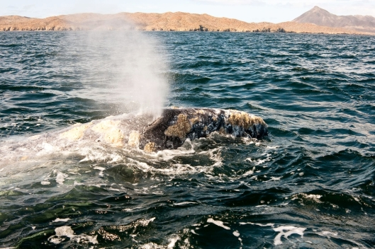 Gray whale (Eschrichtius robustus) blowing water, Bahía Magdalena, Baja California Sur, Mexico / © Sheldon So @ 123rf (ID 21089042)