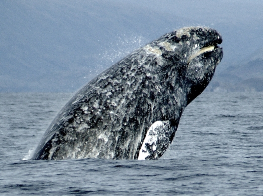 Gray whale (Eschrichtius robustus) breaching while showing its baleen / Merill Gosho @ NOAA: NOAA's Ark – Animal Collection