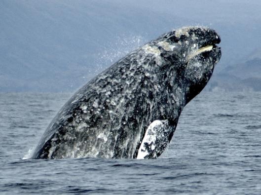 Gray whale (Eschrichtius robustus) breaching while showing its baleen / Merill Gosho @ NOAA: NOAA's Ark – Animal Collection
