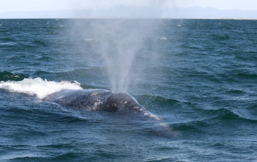 Gray whale (Eschrichtius robustus) blowing / Dr Steven Swartz @ NOAA: NOAA's Ark – Animal Collection (ID anim1722)