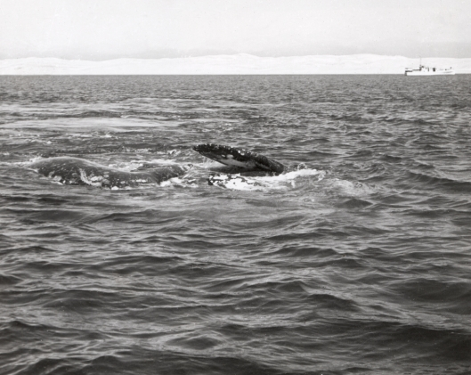 A historical photo of a pair of gray whales (Eschrichtius robustus) rolling and roiling at the surface preparatory to mating, with yacht Grayling in background, Laguna Ojo de Liebre, Baja California Sur, Mexico / Dr Raymond W Gilmore @ NOAA: NOAA's Historic Fisheries Collection (ID fish5334)