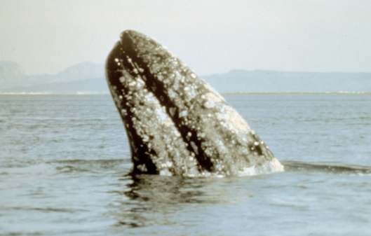 Gray whale (Eschrichtius robustus), Laguna Ojo de Liebre, Baja California Sur, Mexico / NOAA: NOAA's Ark – Animal Collection (ID anim0846)