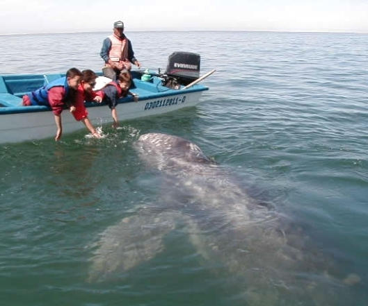 Whale watching on a boat with children attracting the attention of a gray whale, Laguna San Ignacio, Baja California Sur, Mexico / Jorge Peon @ Wikipedia
