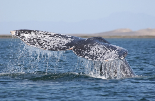 Speckled flukes (above) of a gray whale (Eschrichtius robustus) / Dr Steven Swartz @ NOAA: NOAA's Ark – Animal Collection (ID anim1728)