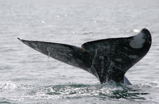 Flukes (below) of a gray whale (Eschrichtius robustus)/ Dr Steven Swartz @ NOAA: NOAA's Ark – Animal Collection (ID anim1721)