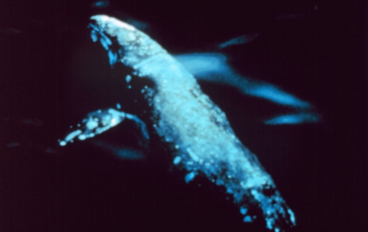 Aerial view of a gray whale (Eschrichtius robustus) / NOAA: NOAA's Ark – Animals Collection (ID anim0845)