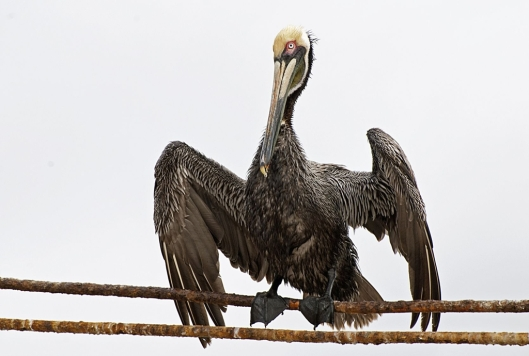 Brown pelican (Pelecanus occidentalis) drying wet feathers in San Blas, Nayarit, Mexico / © Otto Dusbaba @ 123rf (ID 9603937)