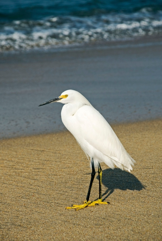 Snowy egret (Egretta thula) on a beach by the Pacific Ocean, Nayarit, Mexico / © Otto Dusbaba @ 123rf (ID 25318964)