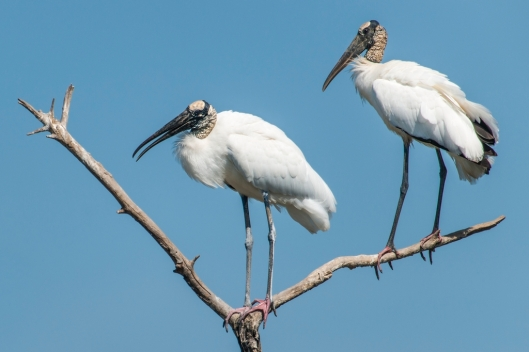 Wood storks (Mycteria americana) at a breeding colony in mangroves at San Blas, Nayarit, Mexico / © drferry @ iStock (ID 157705780)