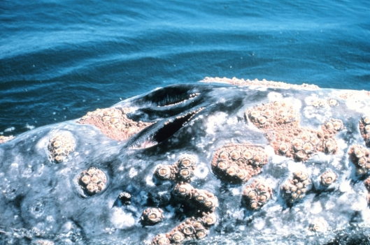 A close-up of two blowholes of a gray whale (Eschrichtius robustus) showing large assemblage of barnacles, Gulf of the Farallones NMS, California, USA / Jan Roletto @ NOAA: NOAA's Sanctuaries Collection (sanc0118)